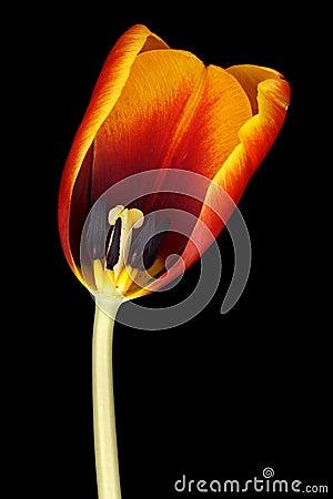 荷兰语郁金香
