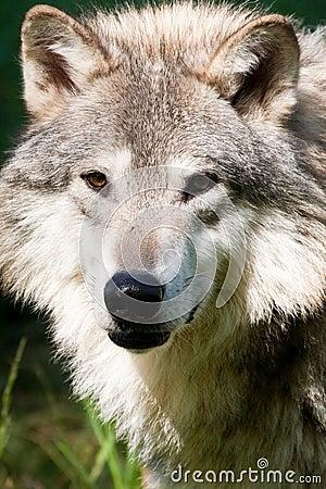 γκρίζος λύκος
