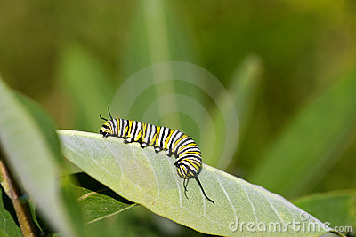 монарх гусеницы