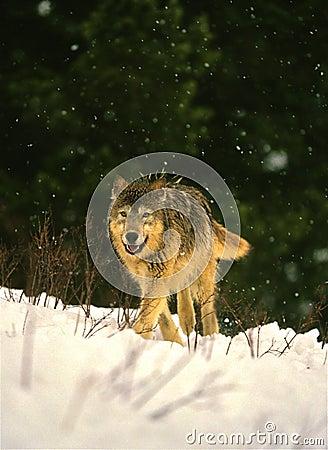 волк зимы