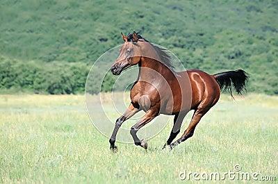 阿拉伯棕色疾驰马牧场地运行中