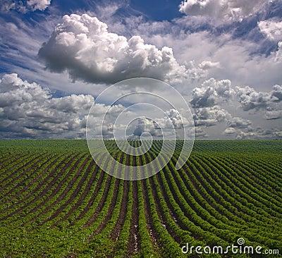рядки фермы