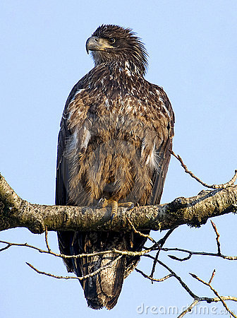 φαλακρός αετός ανώριμος