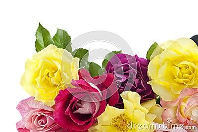 空白背景五颜六色的玫瑰