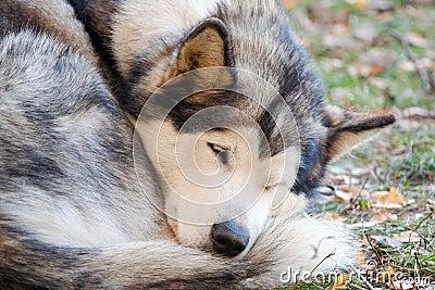 阿拉斯加的爱斯基摩狗休眠