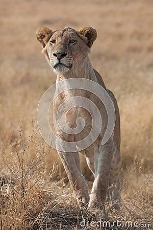 θηλυκό λιοντάρι