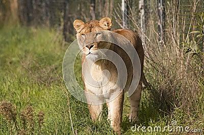 雌狮偷偷靠近