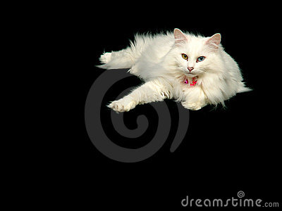 放松安哥拉猫的猫
