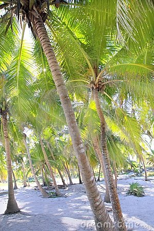 可可椰子天堂沙子结构树热带白色