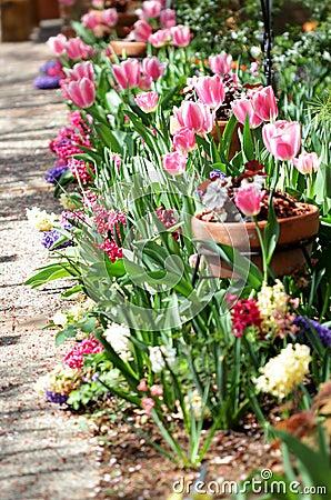 тюльпаны сада