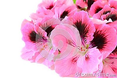 ροζ γερανιών λουλουδι