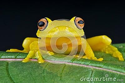 γυαλί βατράχων κίτρινο