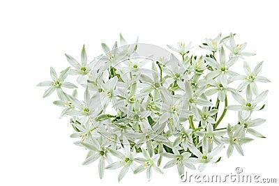 Белая одичалая лилия