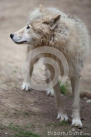 ледовитый волк