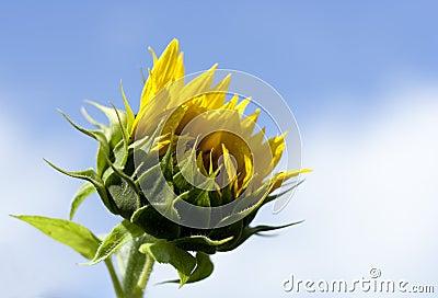 сырцовый солнцецвет