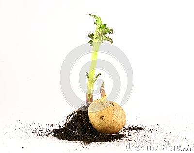 绿色生长叶子照片土豆根.图片
