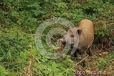 свинья одичалая