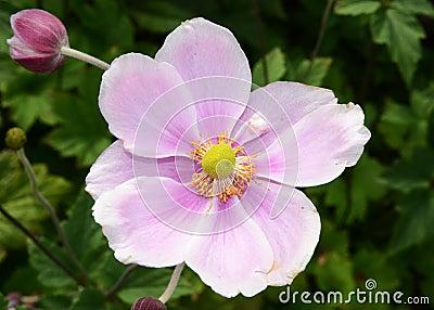 日语的银莲花属选拔