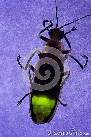 臭虫萤火虫闪动的闪电