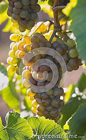 鲜美的葡萄