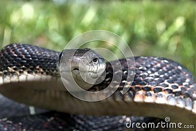 черная змейка