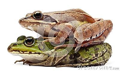 公用可食的欧洲青蛙