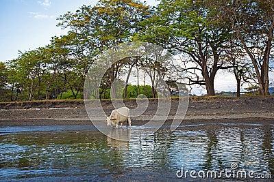 корова одичалая