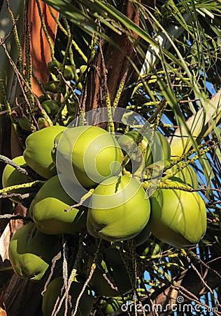 зеленый цвет кокосов