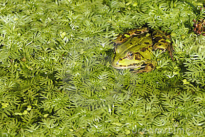 可食的青蛙