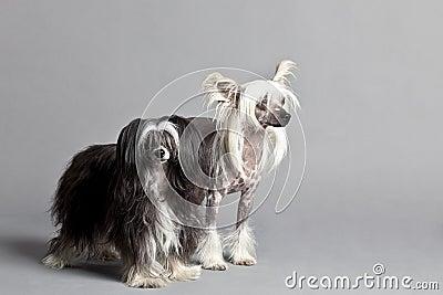 中国夫妇有顶饰狗