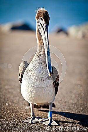 американский пеликан