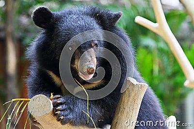 婴孩熊黑色