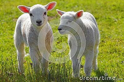 весна овечек