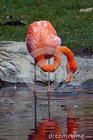 отражение фламингоа розовое