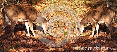 самецы оленя замкнули белизну