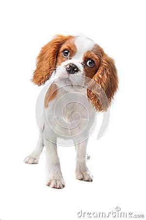 骑士查尔斯国王小狗西班牙猎狗