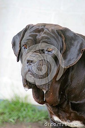 那不勒斯的大型猛犬