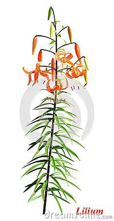 唯一的百合属植物