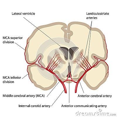 动脉大脑中间名