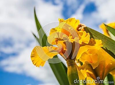 ίριδα λουλουδιών κίτρινη