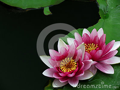 Розовый цветок лилии