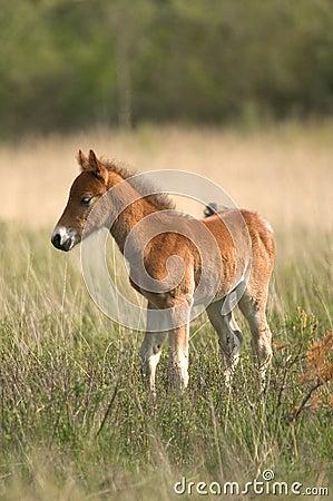 通配的马驹