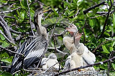 美洲蛇鸟火鸡水