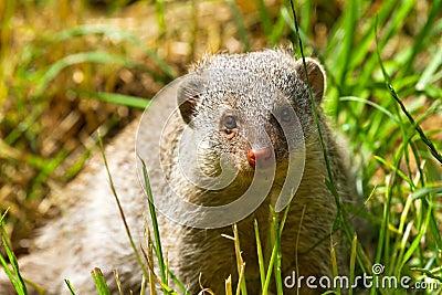 矮小的猫鼬