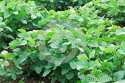 调遣增长大豆