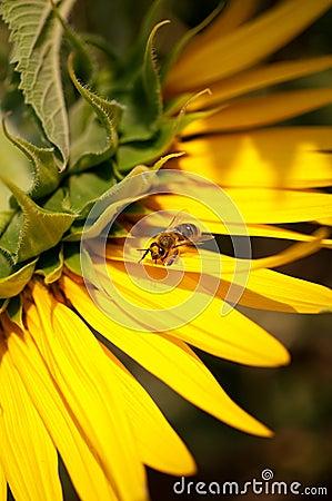 在向日葵的蜂