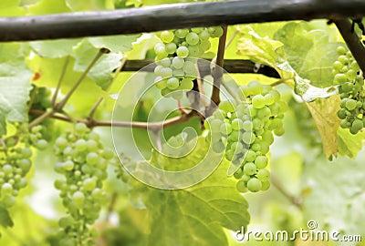 Πράσινα σταφύλια κρασιού