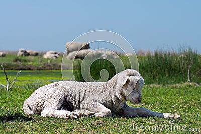 在草的幼小绵羊