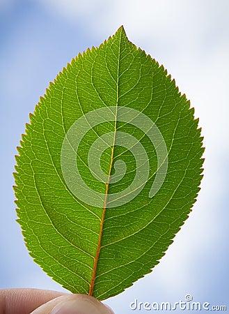 Πράσινο φύλλο