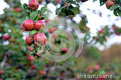 Одичалые яблоки